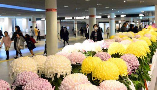 札幌・駅前地下広場などで「さっぽろ菊まつり」 約1000鉢出品・展示