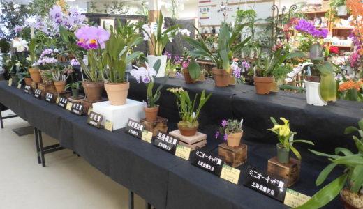コチョウランなどを多数展示する「洋ラン展」が札幌・豊平公園で開催