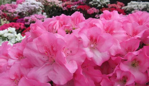 札幌・百合が原公園で「アザレア展」 約150品種200鉢のアザレア展示