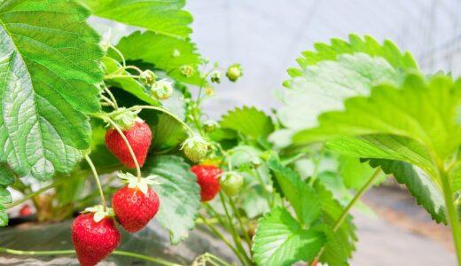 札幌・定山渓ファームでイチゴ狩り 持ち帰りが可能な「イチゴ摘み取り体験」も
